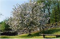 Apple blossom at Sawrey Ground